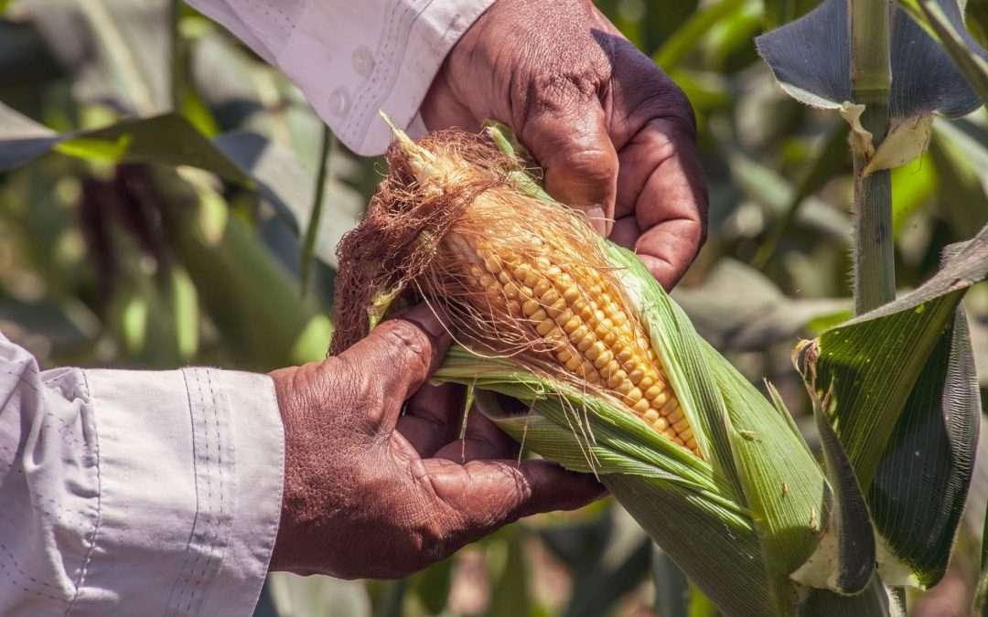 Seasonal Spotlight: Sweet Corn