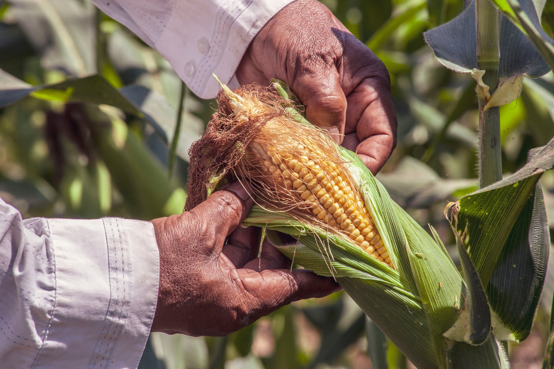 person holding a yellow corn